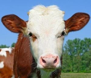 Obrazek użytkownika krowa